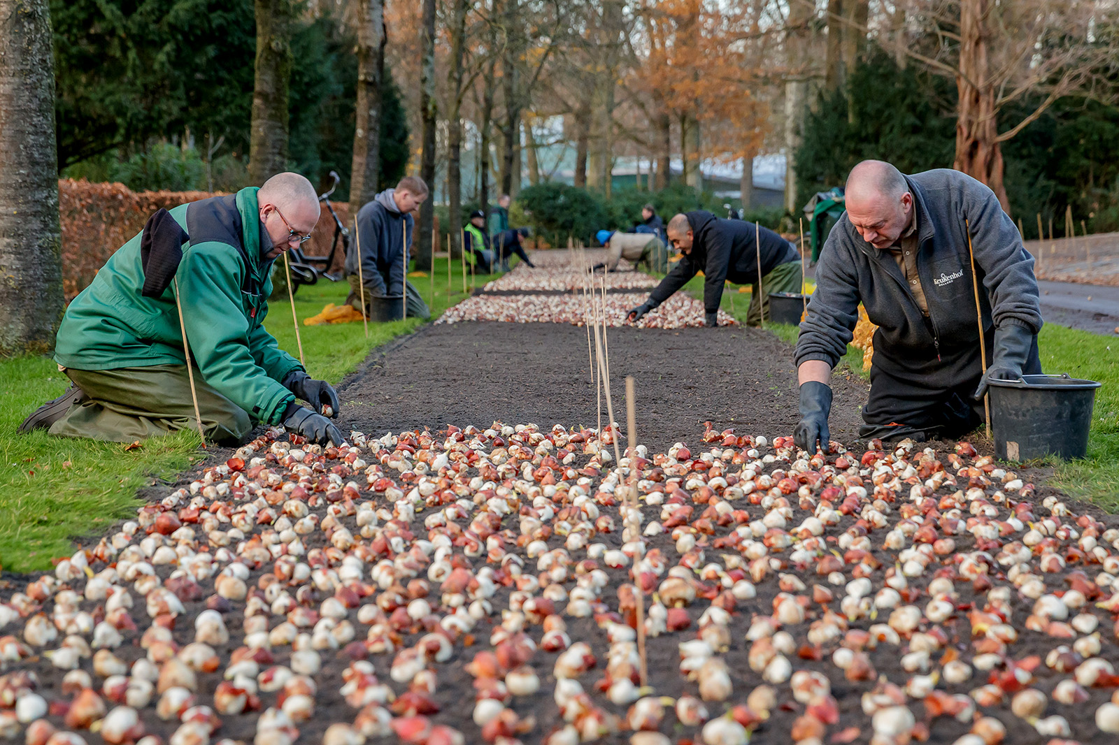 Planting flower bulbs in Keukenhof