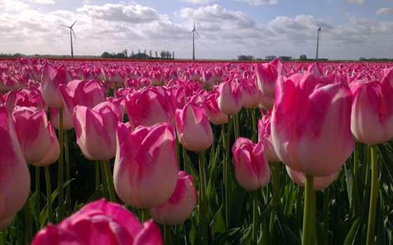 visit the tulip festival in holland. Black Bedroom Furniture Sets. Home Design Ideas
