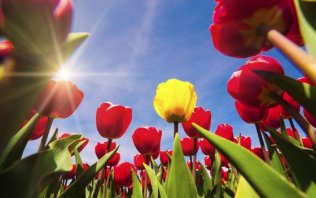 History of tulips in Holland