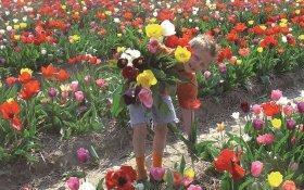 Visit The Tulip Festival In Holland Hollandcom - Holland tulip festival