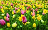 Tulips in summer. Amsterdam opens Tulip Island