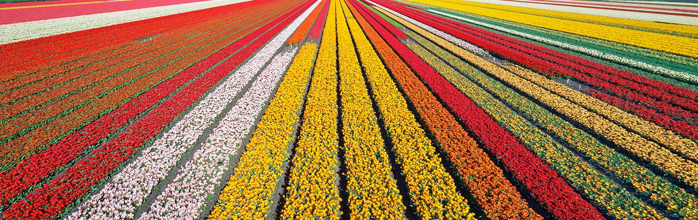 Flower fields between city Lisse and Sassenheim