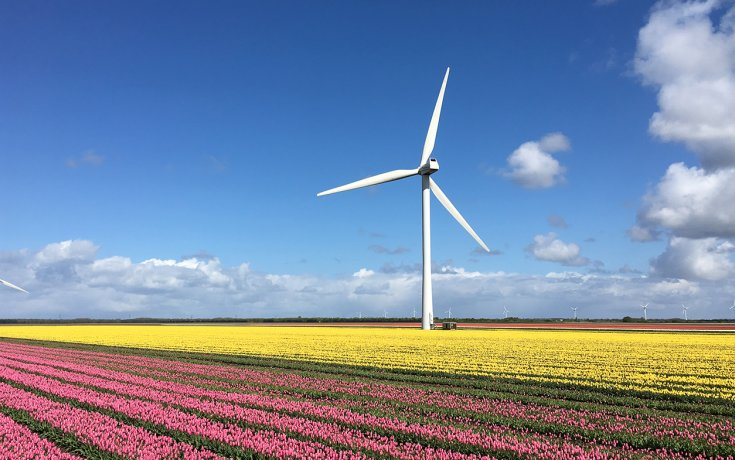 Flevoland tulips with windmill