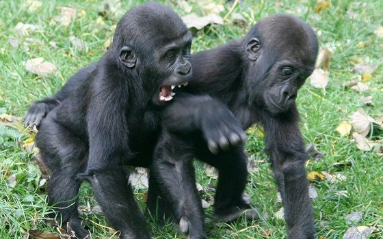 Baby gorillas at Artis Zoo