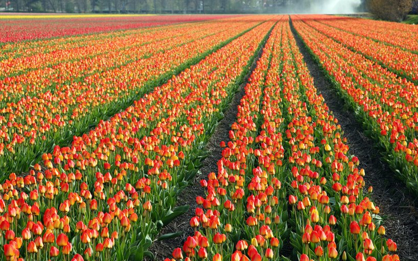 Flower Fields The Most Colorful Fields In Holland Holland Com