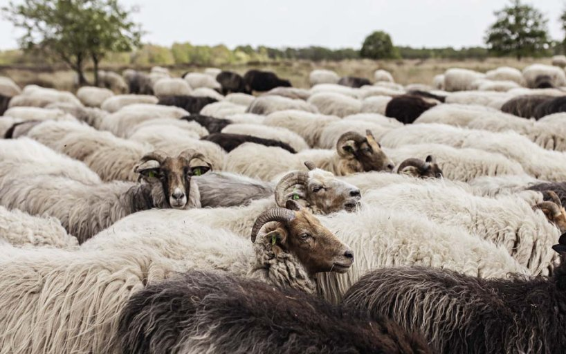 Sheep herd in Drenthe