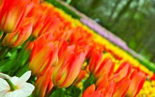 See Holland in full bloom
