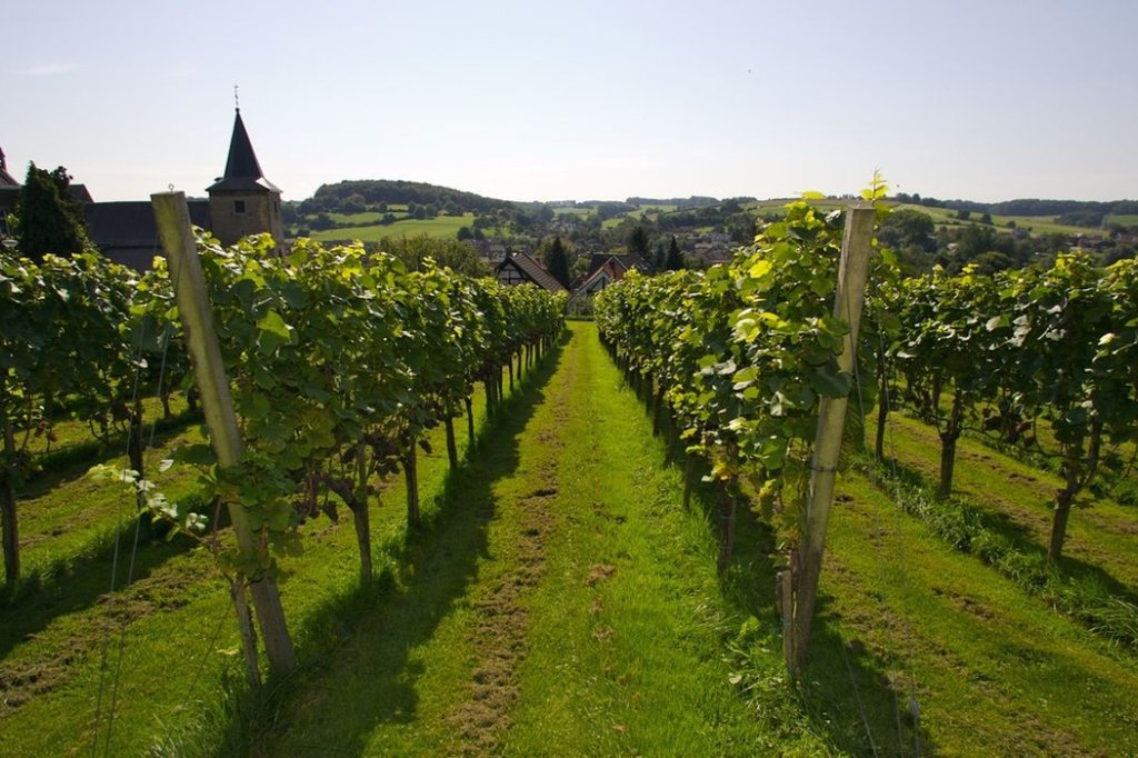 Wineyard in Limburg