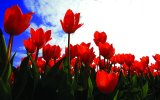 Tulip planting ceremonies taking place in the UK this autumn