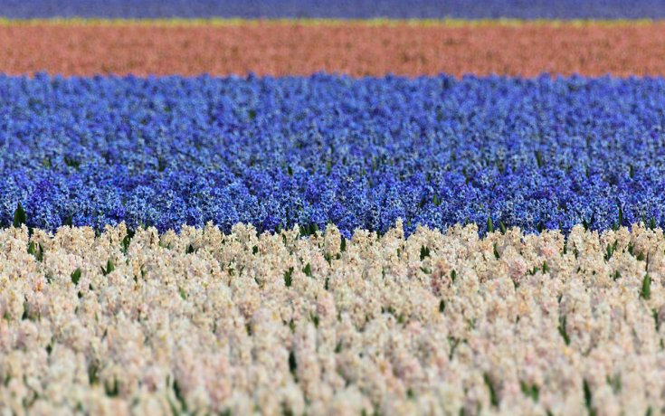 Flower field white blue and red hyacinth