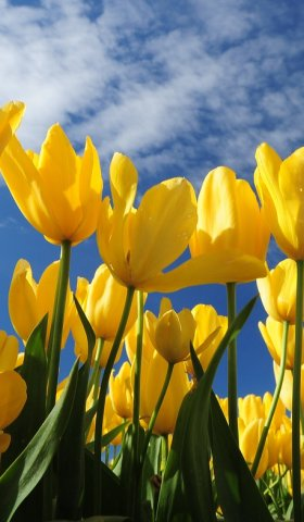 Yellow tulips blue sky